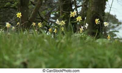 Low angle view of daffodils on a hilltop - Low angle shot...