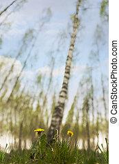 dandelions in scandinavian birch tree forest