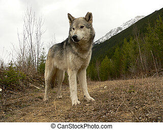 Low angle view of female Timber Wolf on logging road. Golden, British Columbia, Canada.