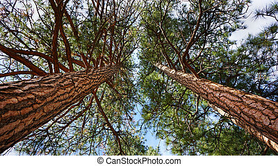 Low Angle view of Lodgepole Pine Trees