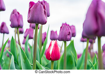 Low angle view of red and white french tulip growing among a field of purple triumph tulips.