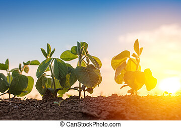 Low angle view of soybean in field