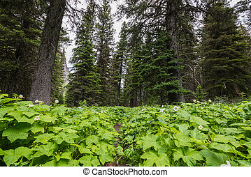 Low Angle View of Trail Overgrown with Thimbleberry
