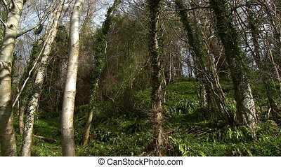 Low angle view of woods with thick vines - Wide angle view...