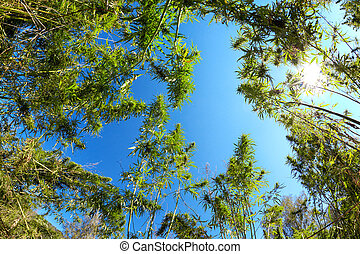 Cannabis - Low angle view on Cannabis and blue sky