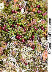Low bush cranberries ripen on the Alaskan tundra