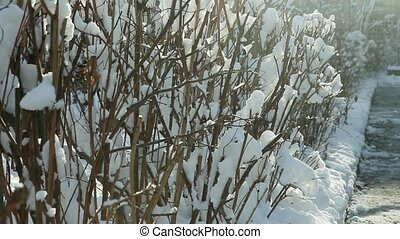 low bushes covered with white snow - bright winter sunlight...