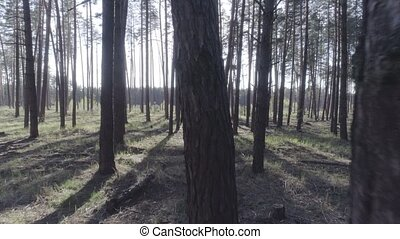 Low flight on the Copter through tree trunks in a pine forest.