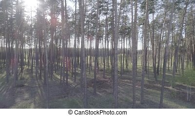 Low flight on the Copter through tree trunks in a pine forest with a smooth rise of the camera up.
