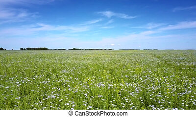 low flight over buckwheat flowers shaken by wind on field -...