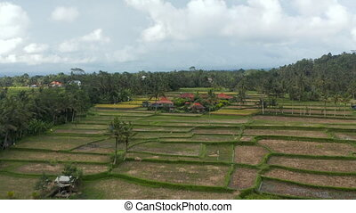 Low flying aerial dolly shot of farmers tending the crops in rice field plantations in Bali and traditional residential houses surrounded by farms 4K