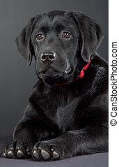 Low key studio portrait of black labrador retriever with red collar lying on dark background