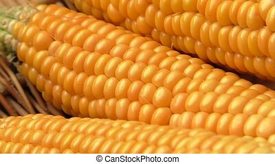 Low yield corn crop due to drought