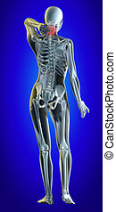 Lower spine - A 3d illustrated file of a womans neck in pain...
