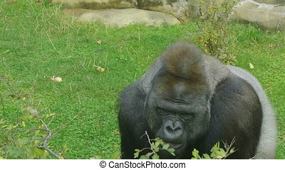 Lowland gorilla on the epic pose of solving his problems.