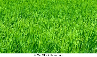 Lowland Rice Field, Swaying in a Steady Breeze - Video 1080p...