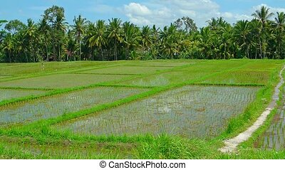 Lowland Rice Plantation in Southeast Asia. Video 1920x1080 -...