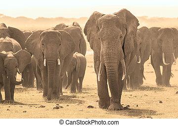 Loxodonta africana, African bush elephant. - Herd of african...