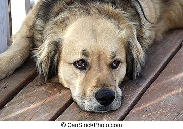 Loyal golden retriever mix dog watching his master