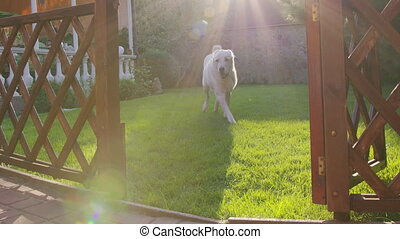Loyal Dog Running Across Green Backyard Lawn