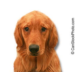 Beautiful young golden retriever male on white background
