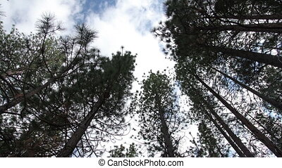 lpanning timelapse looking up through tall trees to the sky,...