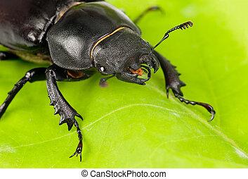 lucanus, beetle), weibliche , (stag, grün, cervus, blatt