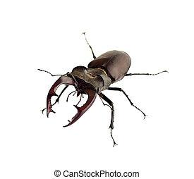 (lucanus, stag-beetle, freigestellt, hintergrund, closeup, cervus), weißes