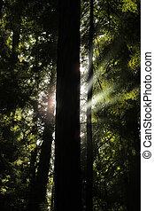 luce, albero