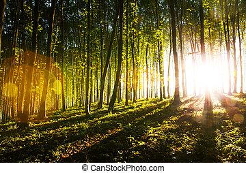 luce, mattina, attraverso, foresta, modo, sole, marche, relativo