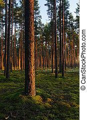 luce, sera, foresta