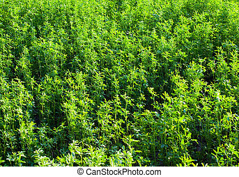 Lucerne (alfalfa) background.