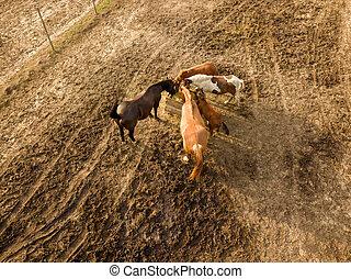 luchtmening, van, de, neuriën, van, boerderij, paarden grazend, en, wandelende, op, een, zomer dag