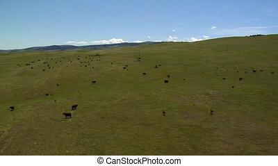 luchtschot, van, vee, grazen, en, dan, rennende