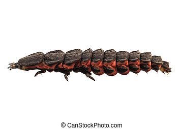 luciérnaga, hembra, larva, especie, nyctophila, reichii