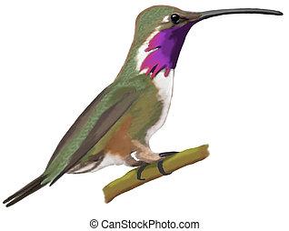 Lucifer Hummingbird -male Calothorax lucifer Computer...