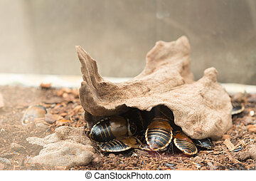 Lucihormetica Verrucosa Is A Species Of Giant Cockroach In The Family Blaberidae, Commonly Known