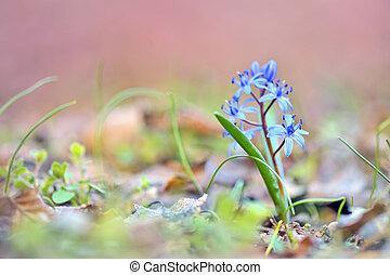luciliae), azul, (chionodoxa, flor, primavera, glory-of-the-snow
