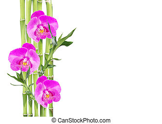Lucky Bamboo and three orchid flower on white background -...