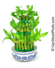 Lucky bamboo (Dracaena sanderiana) in a traditional chinese ...