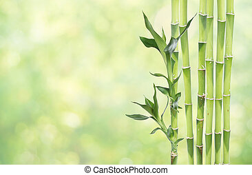 Lucky Bamboo on natural background - Several stem of Lucky...