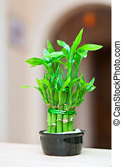 lucky bamboo plant in  pot