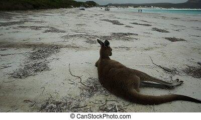Lucky Bay Esperance - kangaroo lying on pristine and white...