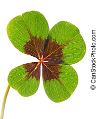 lucky clover over a white background