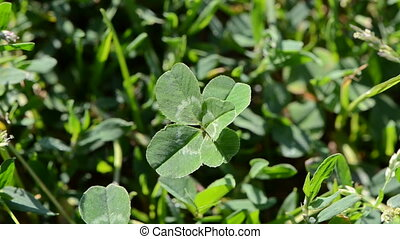 lucky five leaf clover plant
