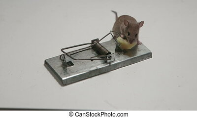 mouse still alive today - Lucky mouse still alive today in a...