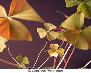 Lucky Shamrocks - Image of Shamrocks, with the focus on one...