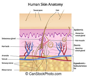 ludzka skóra, anatomia
