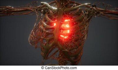 ludzki, chory, ożywienie, cg, serce