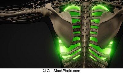ludzki, egzamin, płuca, rentgenologia